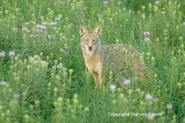 Nature Notes: Coyote