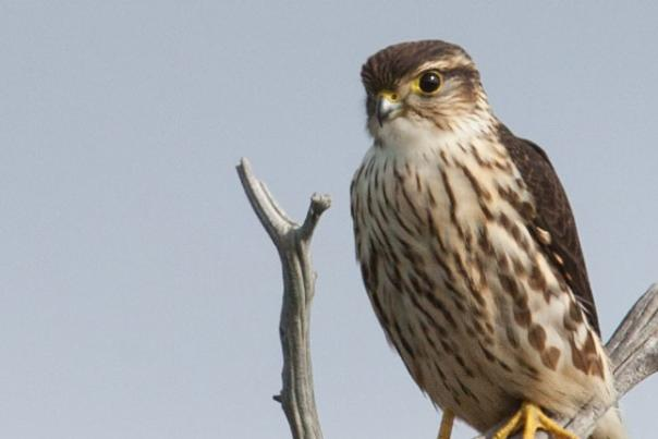 Nature Notes: The Magic of the Merlin Falcon at Kankakee Sands