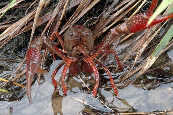 Nature Notes: Crayfish