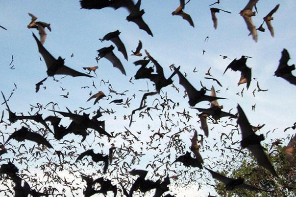 Bats © Rich Kostecke/TNC