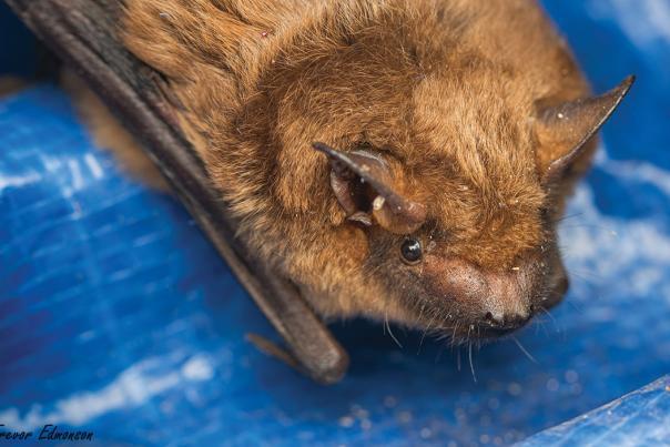 Big brown bat at seed barn by Trevor Edmonson