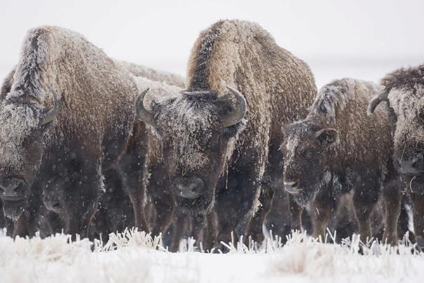 Bison at Kankakee Sands in winter
