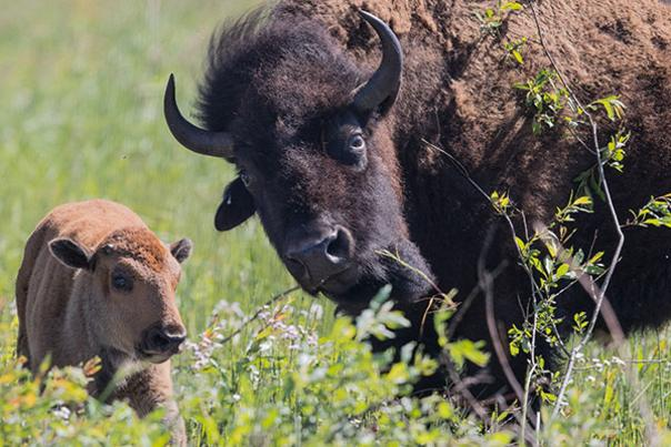 Bison by Michael Quigley