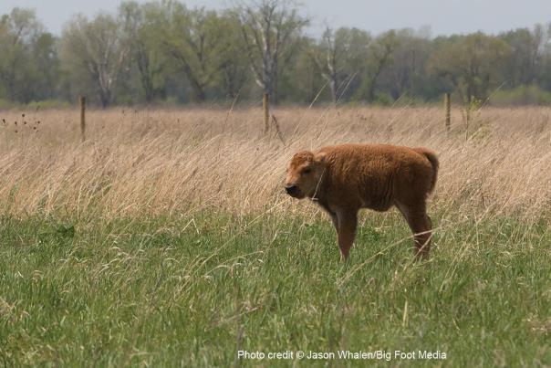 Bison Calf at Kankakee Sands - © Jason Whalen/Big Foot Media