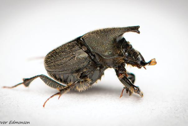 Dung Beetle by Trevor Edmonson / TNC