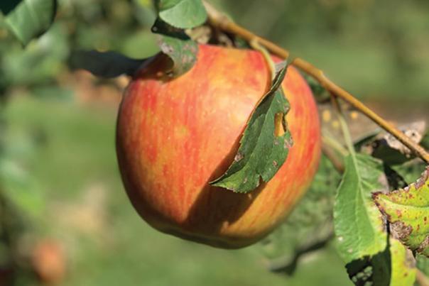 Fair Oaks Farm Orchard apple