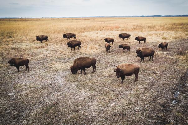 Kankakee Sands bison by Scott Johnsen