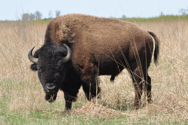 Male Bull Bison at Kankakee Sands by Rick Katz