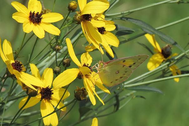 Coreopsis tripteris flowers