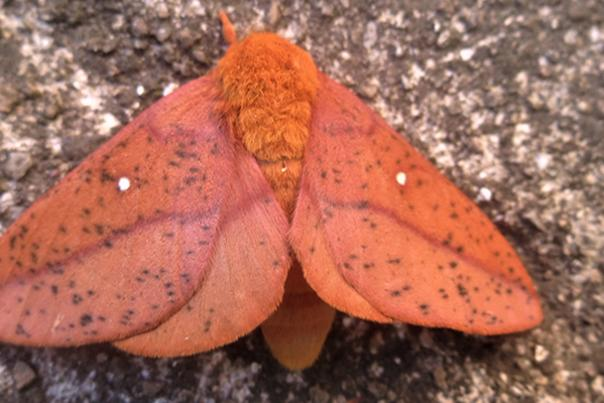 Orange-tipped oakworm moth by Jeanette Jaskula