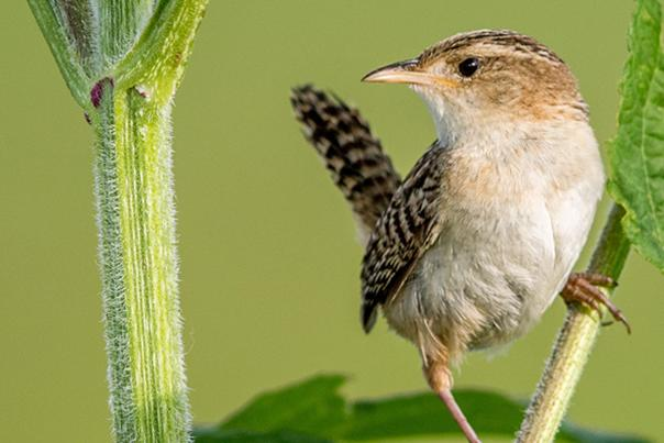 Sedge Wren by Jeff Timmons