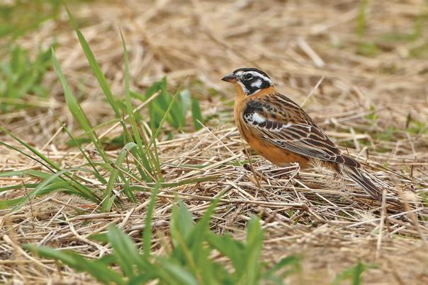 Smith's longspur by Shari McCollough
