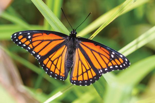 Viceroy Butterfly by Ryan Rasmussen/TNC