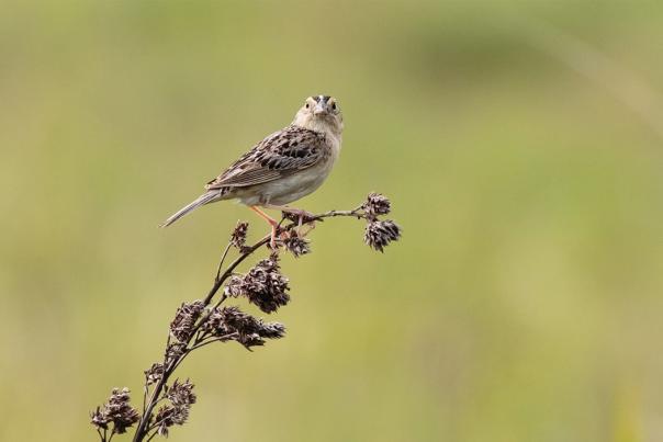 Grasshopper Sparrow by Kathy Malone