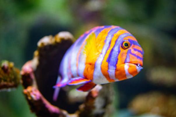 Wonders-of-Wildlife-Shipwreck-Reef-Harlequin-tuskfish-380x285