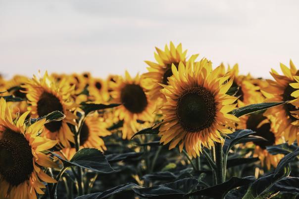 Sunflower fields near Springfield Missouri