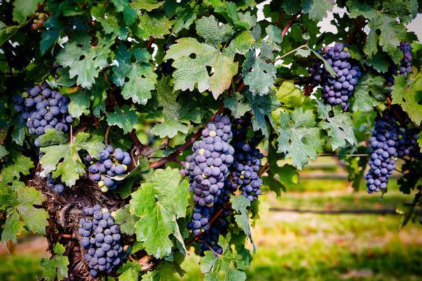 Becker Vineyard-Fredericksburg-Grapes-H