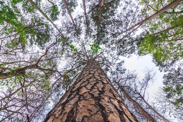 Tree-Piney Woods-H