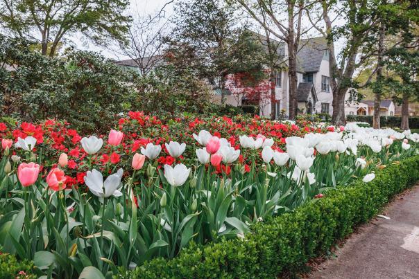 Tulips-Azalea and Spring Flower Trail-Tyler-V