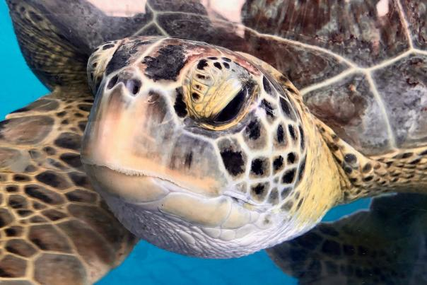 Sea Turtle-Wildlife-H
