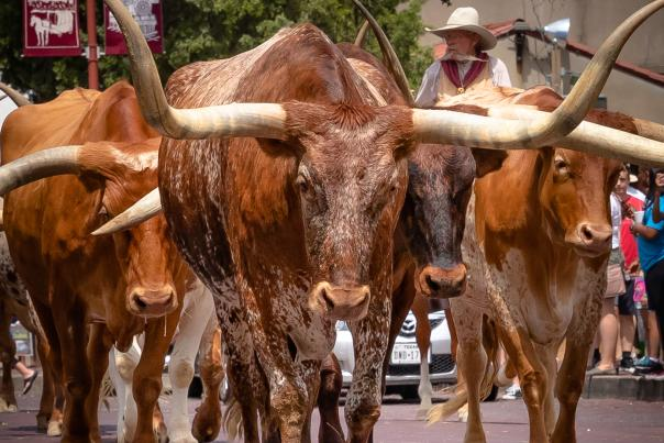 Fort Worth Stockyards-Longhorn-H