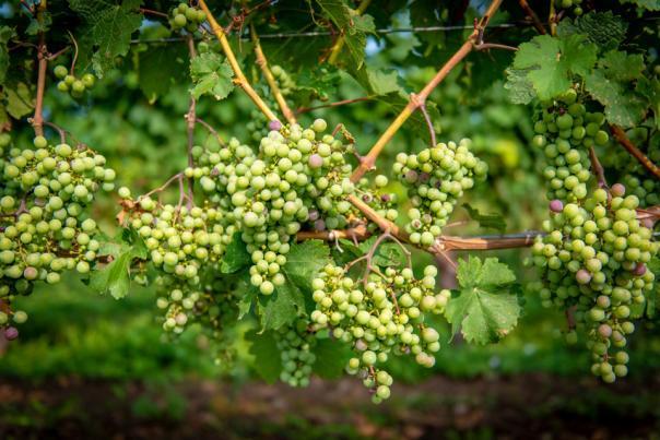 grapes-at-two-sisters-vineyards-niagara-on-the-lake