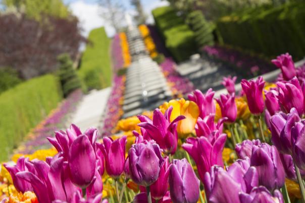 Tulip Festival Flowers
