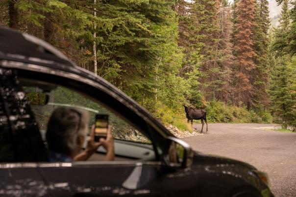 Alpine Loop Moose