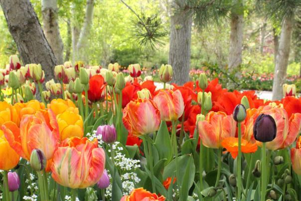 Tulip Festival Header