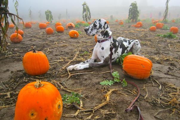 Dog at Pumpkin Patch