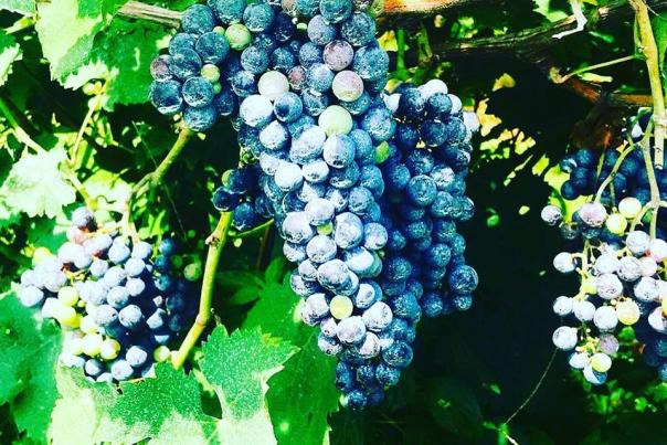 Purple and Blue grapes on a wine