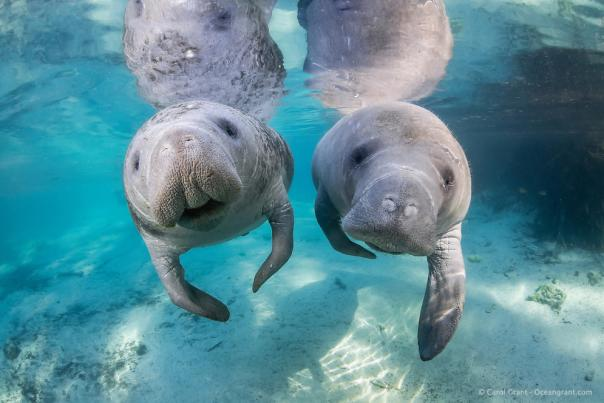 cute manatees, Caption: For prime manatee watching, head to Blue Spring State Park or Homosassa Springs Wildlife State Park.