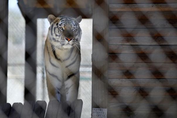 jacksonville-on-a-budget-photo-tiger.jpg