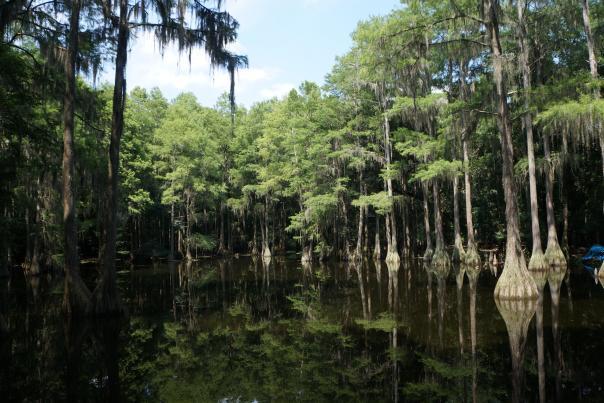 tallahassee-museum-cypress-trees-wildlife-image-mclaren-family-080113.JPG