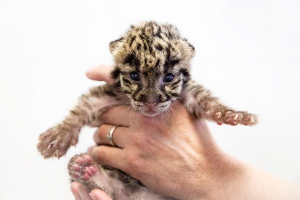Tanganyika clouded leopard cub