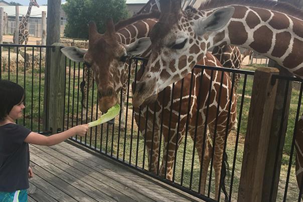 Girl feeding giraffe