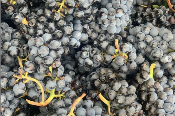 Pinot noir grapes in a bin at Anacreon Winery