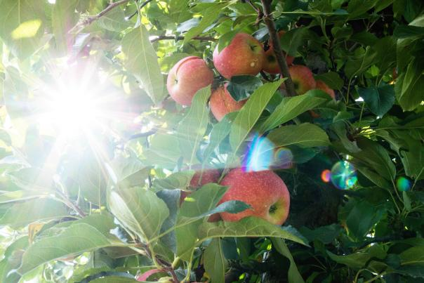 Paulus Apples