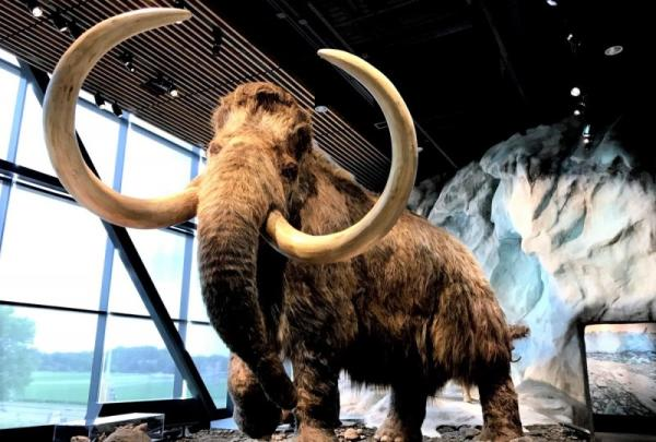 Wooly mammoth on display