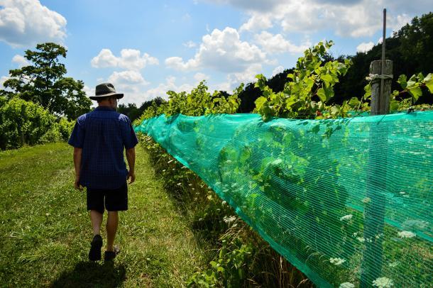 Walking Vineyard