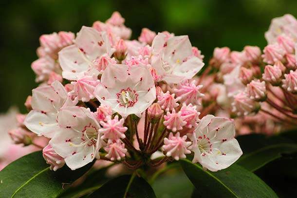 Mountain Laurel at Mount Davis, Forbes State Forest