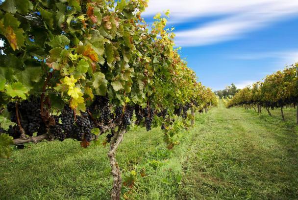 Tasting in the Vines