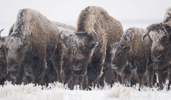 A herd of Bison brave the winter cold at Kankakee Sands restoration area.