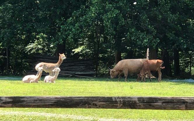 Alpacas and cows at Wild Kid Acres