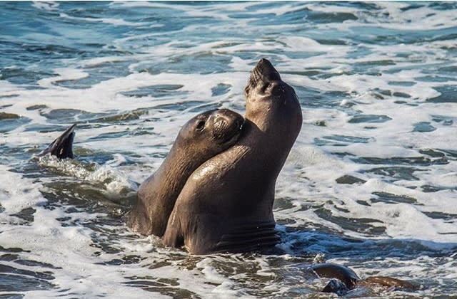 Elephant seals playing with each other in the ocean of the SLO CAL coast.