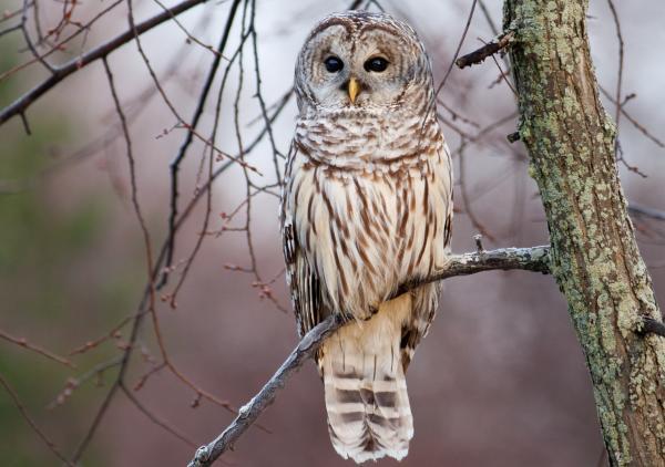 stock_image_barred_owl