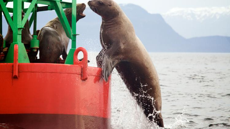Sea lion trying to get on buoy