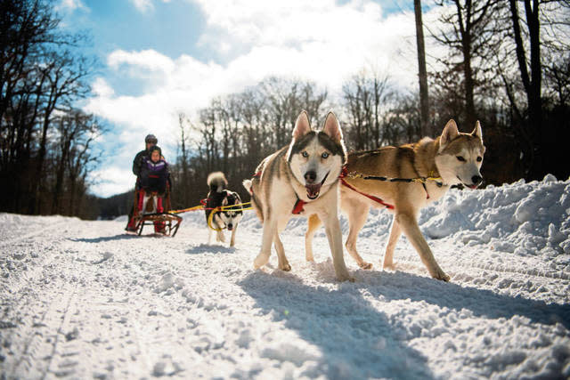 Huskies pulling sled on Laurel Mountain State Park trails