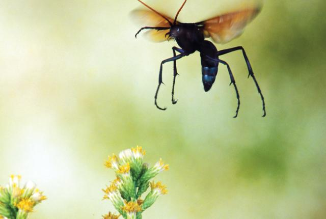 The state insect, the tarantula hawk wasp