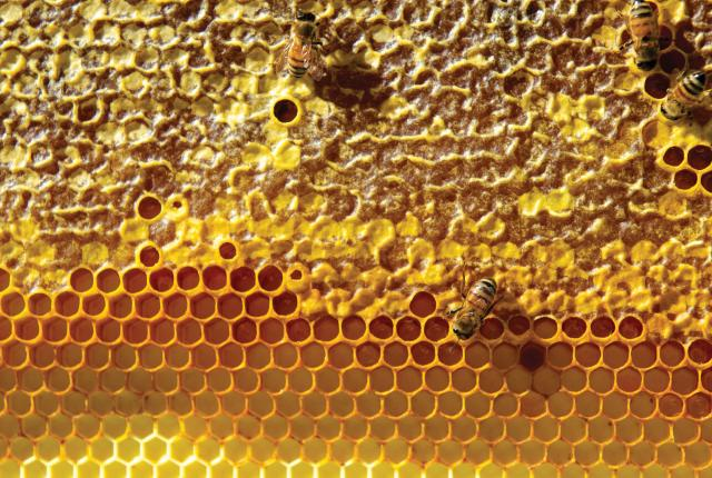 Two bees get busy on one of the Hays Honey & Apple Farm honeycombs.